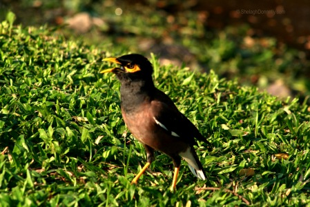 Lumpini Park Bird 8678-2016 Copyright Shelagh Donnelly