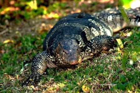 Lumpini Park Lizard 8677-2016 Copyright Shelagh Donnelly