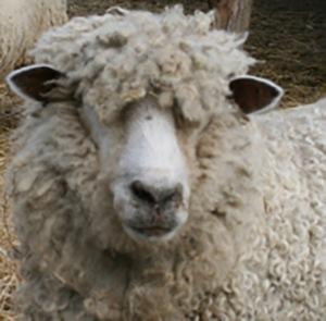 Mount Vernon Sheep closeup 2 Copyright Shelagh Donnelly