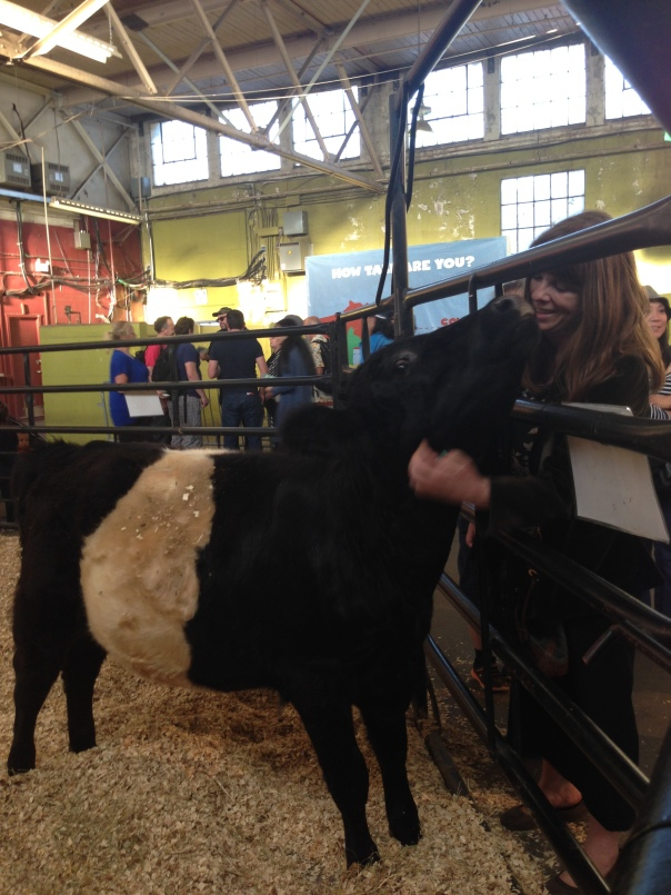 Cow Cuddling PNE Copyright Shelagh Donnelly